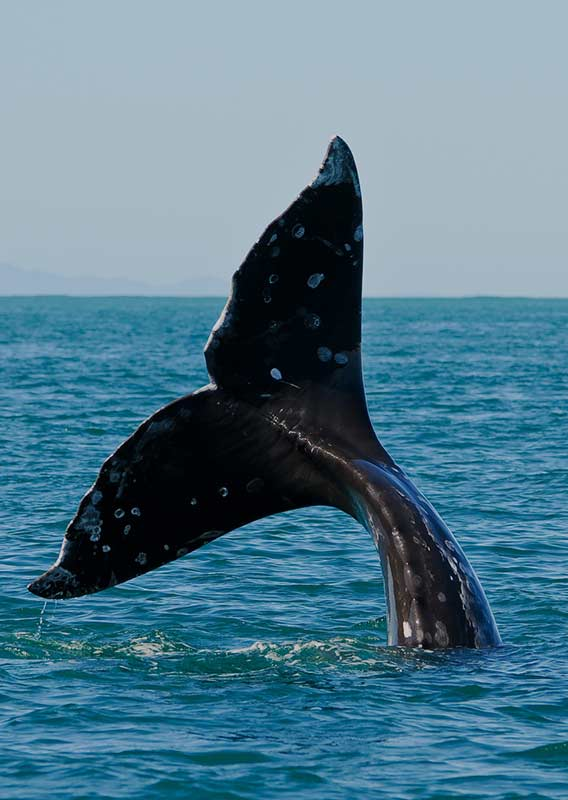The tail of a grey whale moves above the water on Kenai Fjords Tour Cruise