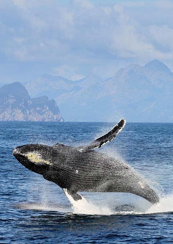 A grey whale breaches the ocean on a sunny day with mountains off in the distance