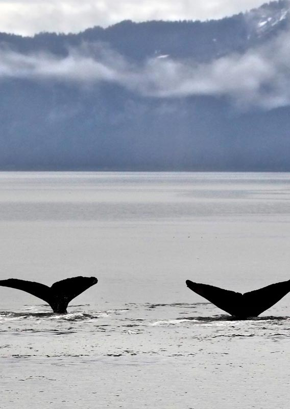 Three whale's flukes stick out of from the ocean.