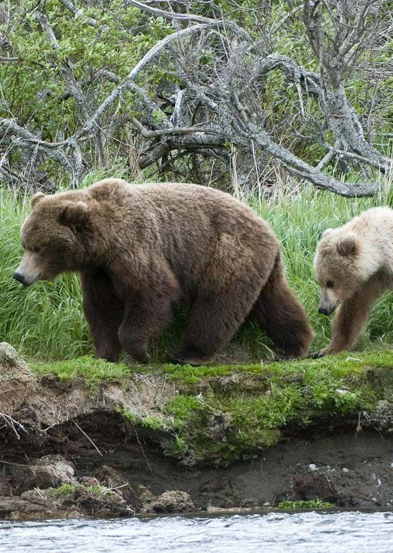 Bears walk along a riverbank