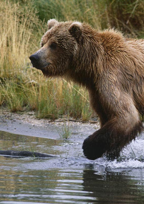 Clark National Park is home to one of the most concentrated bear populations in the State of Alaska