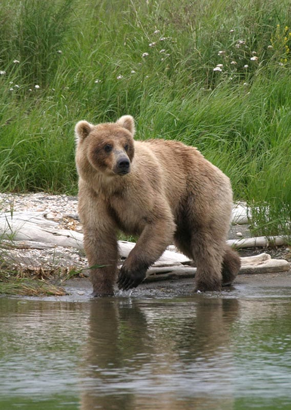 Alaskan Bear walking along a creek