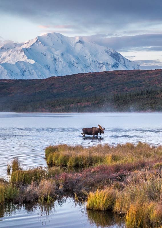 Two moose walk across a lake in a tundra landscape with a large snow-covered mountain behind.
