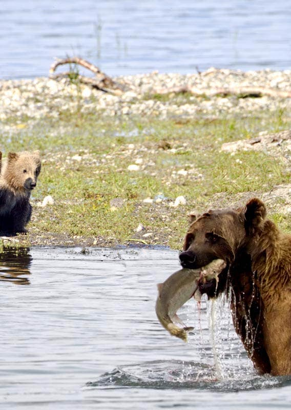 Bear and cubs catching salmon