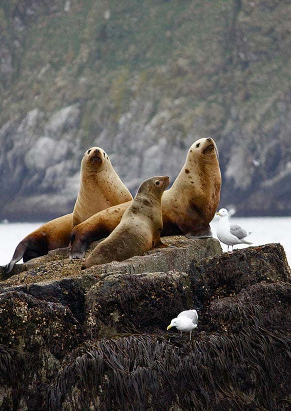 Sea lions at Kenai Fjords