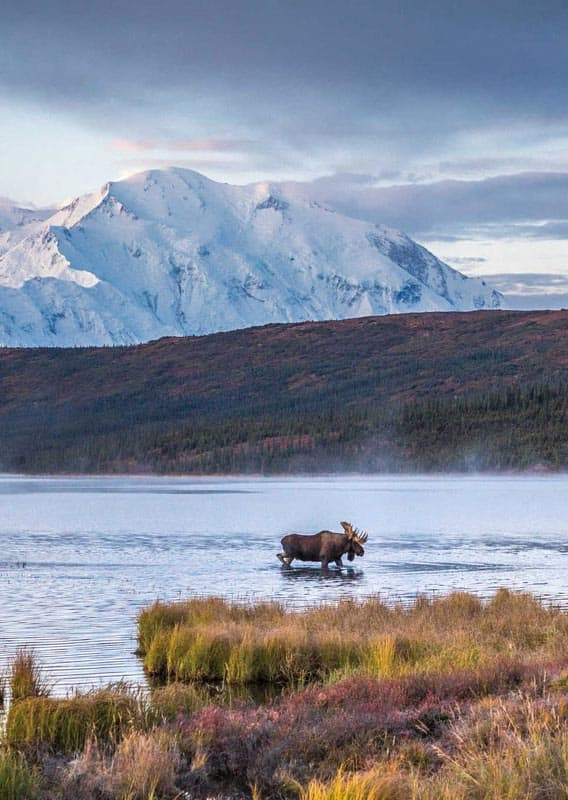 Moose wondering across the lake with towering mountain peaks behind