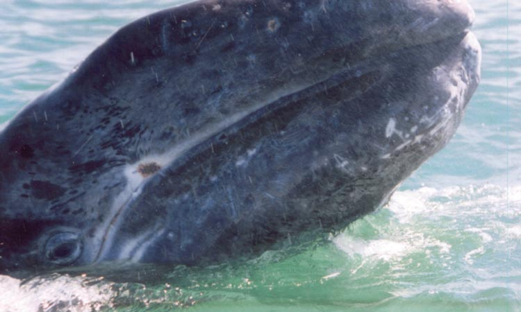 A gray whale calf breaches the water's surface