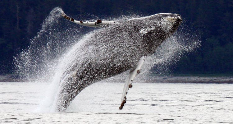 A grey whale breaches the water's surface