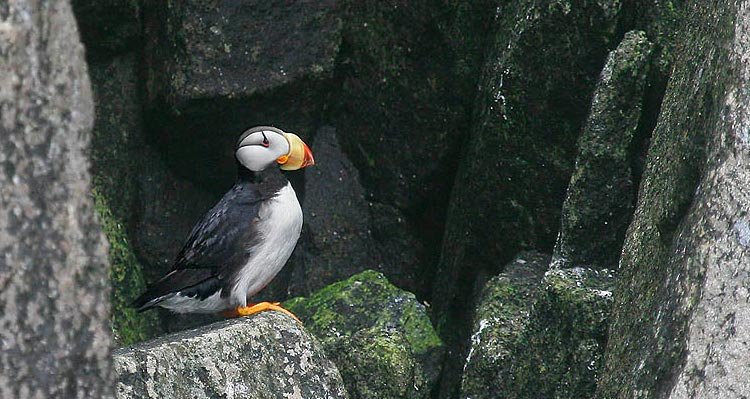 A horned puffin rests among mossy rocks