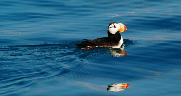 A horned puffin swims in a dark blue sea