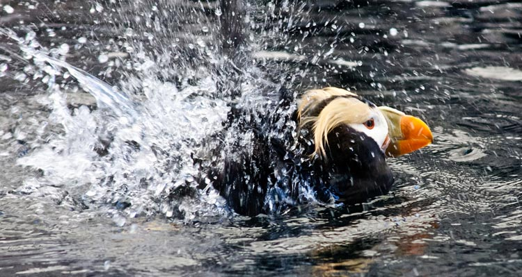 A tufted puffin splashes in water