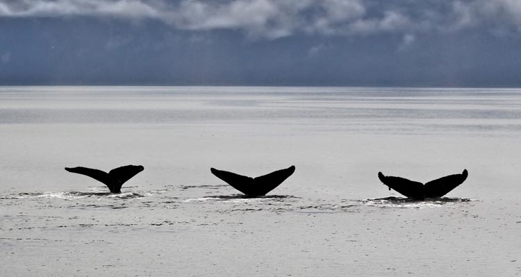 Three whale tails just above the water's surface