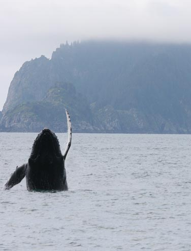 Sustainable Whale Watching at Kenai Fjords Tours