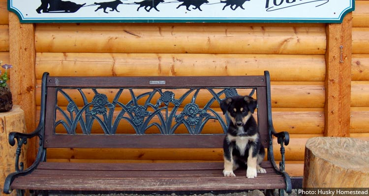 A husky puppy sits on a bench.