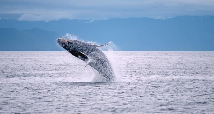 A humpback whale breaches the ocean's surface.