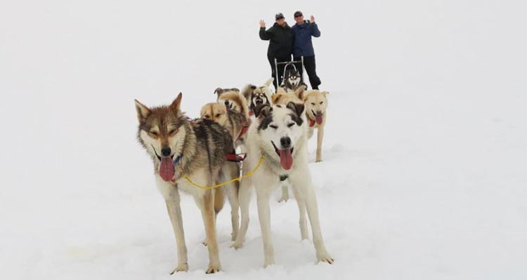 Sled dogs lead the way with a pair of people in back.