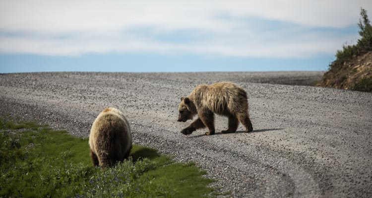 Two bears walk along a gravel road.