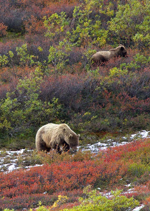 A group of bears forage in a meadow eating various plants of different colors