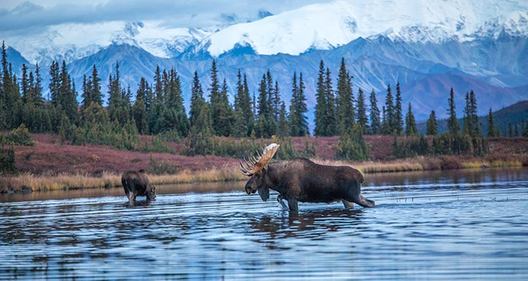 Two moose wade through a small lake surrounded by trees.