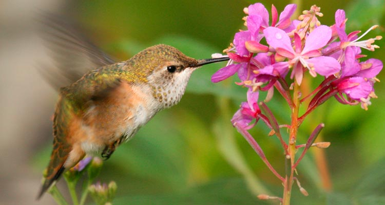 A Rufous Hummingbird hovers while drinking nectar from a pink fireweed flower.
