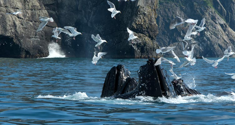 A group of humpback whales feed at the ocean surface while gulls fly all around.
