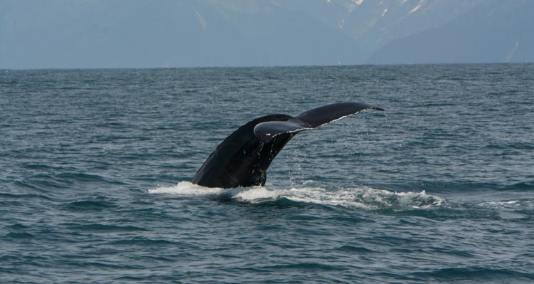 A whale fluke just above the ocean surface.