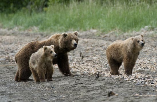 A mother and two young grizzly bears walk along a beach